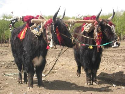 in_tibet_yaks_are_decorated_and_honored_by_the_families_they_are_part_of